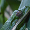 American Green Tree Frog