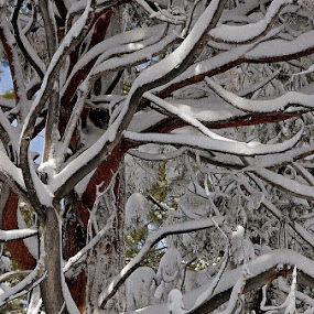 After the storm by Dan Larsen - Nature Up Close Trees & Bushes ( snow branches )