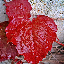 Leaf by Dobrin Anca - Nature Up Close Leaves & Grasses ( red, green, brittany, leaf, wall,  )