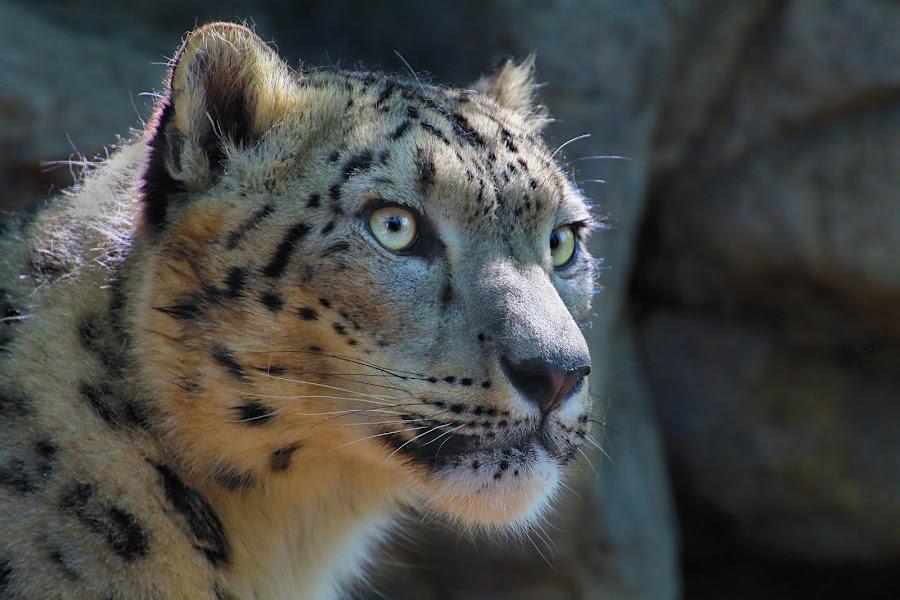 Snowy Boy by Jen Millard - Animals Other Mammals ( predator, cat, nature, wildlife, leopard, animal )