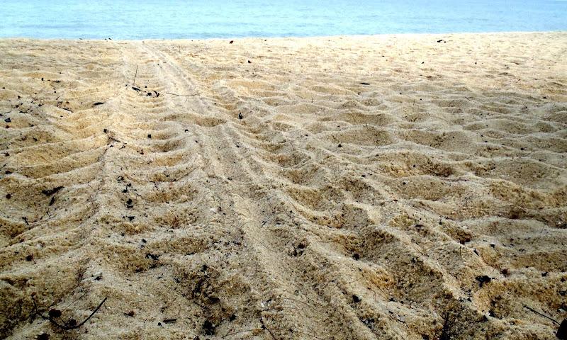 Photo: Green turtle tracks