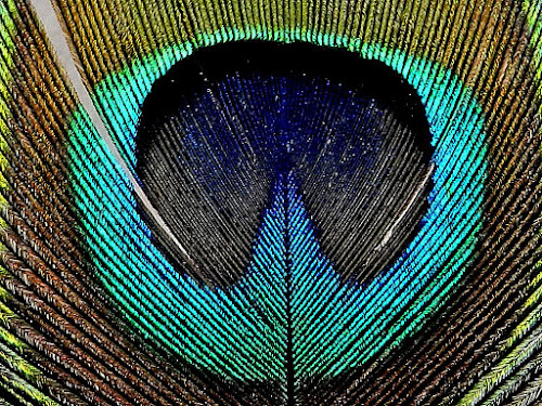 Macro of a part of a peacock feather by Govindarajan Raghavan - Nature Up Close Other Natural Objects (  )