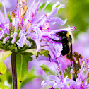Two-spotted bumble bee (on Wild Bergamot)