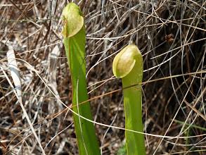 Photo: Sarracenia minor at Longleaf Pine Preserve near Orlando (Florida).