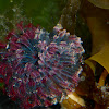 Northern Feather Duster Worm