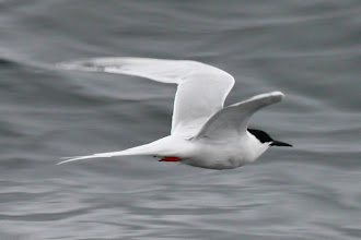Photo: Roseate Tern