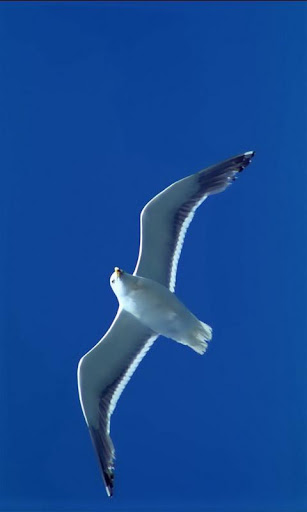 Gull on wing