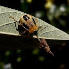 Predatory stink bug Supputius