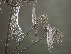 Photo: 26 Aug 13 Priorslee Lake And another sign: the spiders busy with their webs. (Ed Wilson)