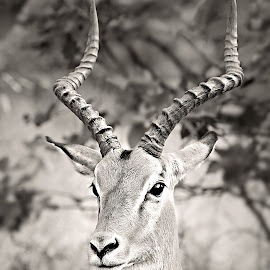 Impala Portrait by Pieter J de Villiers - Black & White Animals