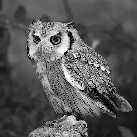 Little owl by Gérard CHATENET - Black & White Animals