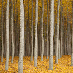 Mystery by Gabriel Gutierrez - Landscapes Forests ( vertical, fall leaves, fall colors, autumn, trees, travel, rows,  )