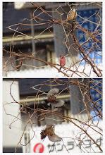 Photo: 撮影者:若狭 誠 鳥名:ベニマシコ タイトル:ホオジロに追われたベニマシコ 観察年月日:2014/1/7 羽数:1羽 場所:浅川大和田橋上流左岸 区分:希少 メッシュ:八王子7K コメント:ニセアカシアの若木にホオジロ♂とベニマシコ♂が一緒に止まっていた。しばらくしてベニマシコはホオジロに追われた。