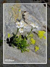 Photo: Achillée musquée, Achillea erba-rotta subsp. moschata