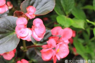 Photo: 拍攝地點: 梅峰-溫帶花卉區 拍攝植物: 秋海棠 拍攝日期: 2015_05_29_FY