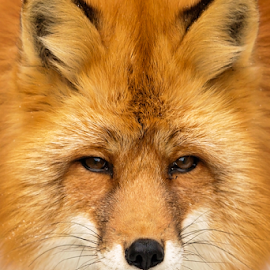Fox by Vadim Malinovskiy - Animals Other Mammals ( orange, animal, fox )