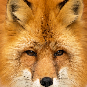 Fox by Vadim Malinovskiy - Animals Other Mammals ( orange, animal, fox )
