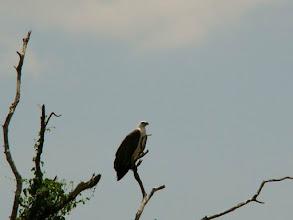 Photo: AUSTRALIE-Faucon à Kakadu National Park