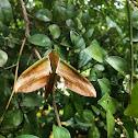 yam hawk moth ♀️