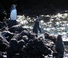 Photo: Galapagoksen pingviinejä