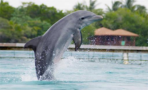 Dolphin-in-Roatan - A dolphin in Roatan, Honduras.