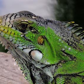 Iguana by Rui Santos - Animals Reptiles ( fuji hs25, iguana, rui santos )