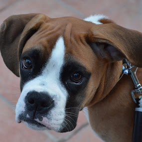 Cutest boxer puppy by Pantelis Orfanos - Animals - Dogs Puppies
