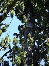 Photo: Weasel in a tree