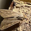 Mythimna unipuncta (armyworm moth)