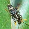 Clerid beetle