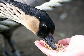 Photo: Another hungry Nene