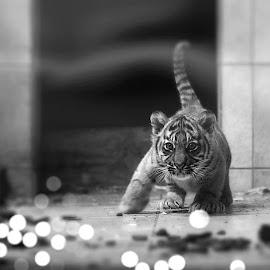 Little big Man by Jürgen Sprengart - Animals Lions, Tigers & Big Cats ( baby, playing, tiger, sumatra, little )
