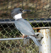 Photo: This Belted Kingfisher figured out how to get past the predator netting over the Coho pond.