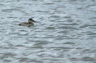 Photo: Ruddy duck, Quidi Vidi 4 December 2013
