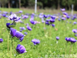 Photo: 拍攝地點: 梅峰-一平臺  拍攝植物:  白頭翁  拍攝日期:2012_03_02_FY