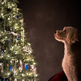 Goldendoodle Christmas by Jen St. Louis - Animals - Dogs Portraits ( christmas tree, dog, christmas, dog portrait,  )