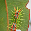 Four-spotted Cup Moth Caterpillar