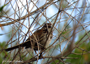 Photo: Song Sparrow Dairy Mart - 4-23-16 Sonja Beeve