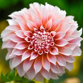 Dahlia #9 by Jim Downey - Flowers Single Flower ( orange, pink, white, dahlia, yellow )