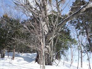 また巨木が
