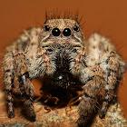 Langona Jumping Spider