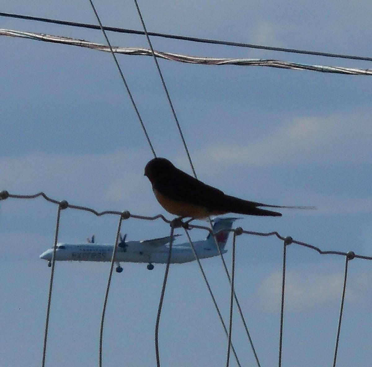 Barn Swallow (Female)