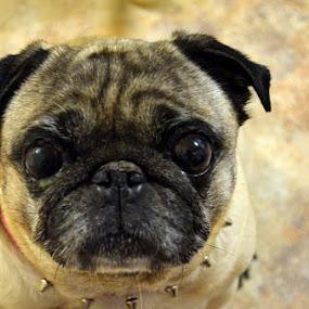 Smile by Rita Uriel - Animals - Dogs Portraits ( pet, dog, pug, eyes, pwc84,  )