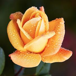 0 Rose 9658~ by Raphael RaCcoon - Flowers Single Flower