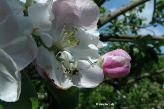 Photo: veränderliche Krabbenspinne auf Apfelblüte