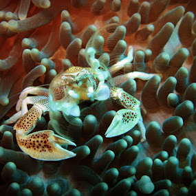 Anemon Crab by Asep Dedo - Animals Sea Creatures