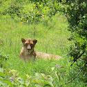 Masai (East African) Lion