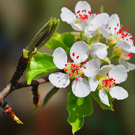 by Manuela Dedić - Flowers Tree Blossoms
