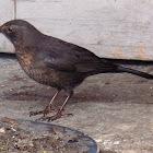 The common blackbird