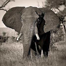 Elephant Bull by Pieter J de Villiers - Black & White Animals